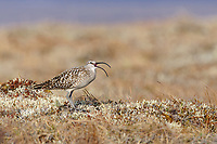 Adult Bristle-thighed Curlew (Numenius tahitiensis) vocalizing on its breeding grounds. Seward Peninsula, Alaska. June.