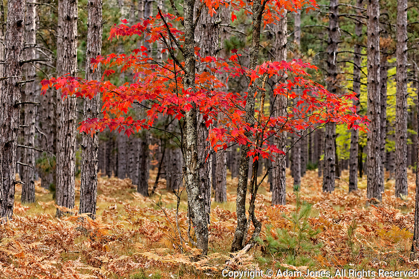Maple trees in fall colors, Hiawatha National Forest, Upper Peninsula of Michigan.