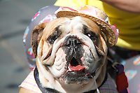 SAO PAULO, SP, 03.08.2014 - BULLNINA 2014 - ENCONTRO DE BULLDOGS - Ocorreu na manha deste domingo, 03, no clube Guapira , zona norte da cidade de Sao Paulo um encontro de criadores de caes da raça Bulldog. (Foto: Andre Hanni /Brazil Photo Press).
