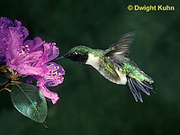 HU11-002x  Ruby-throated Hummingbird - male drinking nectar from rhododendron flower as it hovers in air -  Archilochus colubris