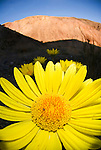 Golden Panamint Daisy flower in bloom, WIldrose Canyon in the Panamint Range in Death Valley National Park, California...(Enceliopsis argophylla grandiflora, aka Enceliopsis covillei)