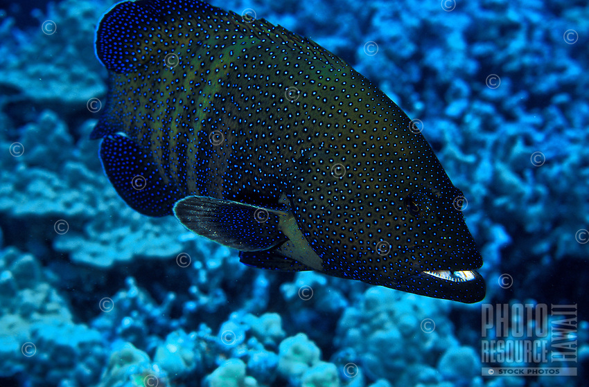 A Peacock Grouper ( Cephalopholis argus). Hawaiian name is Roi.