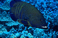 A Peacock Grouper ( Cephalopholis argus). Hawaiian name is Roi.