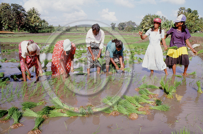 (96/82/06)-Polonnaruwa-Sri Lanka - December 29, 1996---Women / day laborer (labourer) setting rice; FNS/SAN, agriculture, rural, labour---Photo: Horst Wagner/eup-images