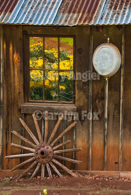 McLaughlin's Daffodil Hill in bloom, Volcano, Calif.<br /> <br /> Window reflection and wagon wheel spokes