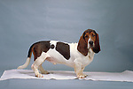 Bassett Hound<br />
