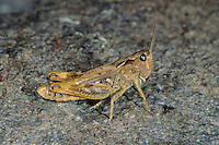 Sampeyre-Grashüpfer, Chorthippus sampeyrensis, Glyptobothrus sampeyrensis, Piedmont Grasshopper, Sampeyre Grasshopper, Le Criquet du Sampeyre