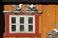 Kittiwake gulls, Rissa tridactyla, breeding on house wall, Vardø town, Varanger Peninsula, Norway, Scandinavia