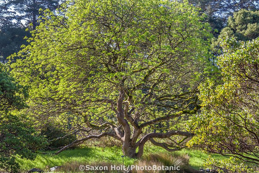 Aesculus californica, California buckeye tree leafing out in late winter in Menzies California native plant garden, San Francisco Botanical Garden