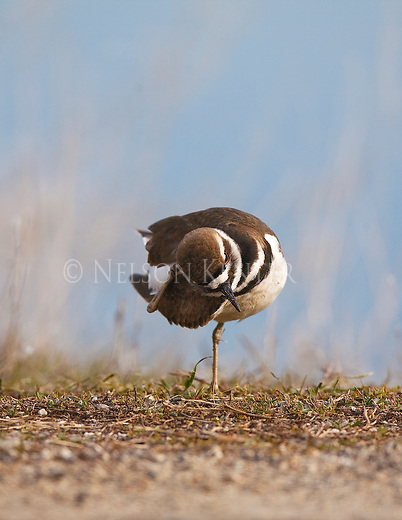 A Killdeer takes a break from feeding to scratch its head