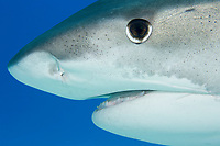 Close-up tiger shark portrait Galeocerdo cuvier) in the Bahamas