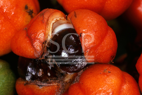 Tataquara, Amazon, Brazil. Guarana (Paulinia cupana), a natural stimulant used as a tonic and as a flavouring for a soft drink.