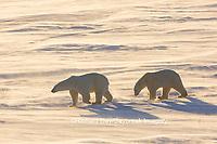 01874-14217 Polar Bears (Ursus maritimus)  in Cape Churchill Wapusk National Park,  Churchill, MB Canada