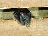 Black Rat Rattus rattus Length 30-45cm Nocturnal, omnivorous rodent. Recalls Brown Rat but has sleeker body outline and darker coat. Adult has mainly blackish fur, palest on underparts. Coat looks shaggy due to bristle-like guard hairs. Ears are rather large and tail is relatively long. Squeals in distress. Introduced to Britain; formerly abundant, now scarce and declining. Seldom ventures below ground, have an aversion to water and prefers warmer, drier situations overall.