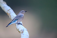 Mountain Bluebird (Sialia currucoides), immature female foraging in Rocky Mountain National Park, Colorado.