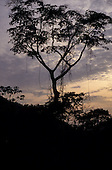Amazon, Brazil. Tall rainforest tree in silhouette against the evening dusk sky.