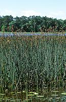 Gewöhnliche Teichsimse, Gewöhnliche Teichbinse, Teich-Simse, Seebinse, See-Bimse, Schoenoplectus lacustris, Scirpus lacustris, common tule, hardstem tule, tule rush, hardstem bulrush, viscid bulrush