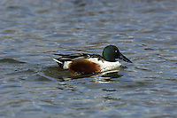 Shoveler (male) Anas clypeata L 44-52cm. Unmistakable because of bill shape. Usually unobtrusive. In flight, male shows blue forewing panel and white-bordered green speculum; in female, blue is replaced by grey. Sexes are dissimilar overall. Adult male has shiny green head, white breast and chestnut on flanks and belly. Stern is black and white and back is mainly dark. Has yellow eye and dark bill. In eclipse, resembles adult female although body is more rufous and head greyer. Adult female has mottled buffish brown plumage and yellowish bill. Juvenile is similar to adult female. Voice Male utters a sharp tuk-tuk while female makes a soft quack. Status Scarce breeding species on freshwater wetland. Commoner and more widespread in winter but seldom numerous.