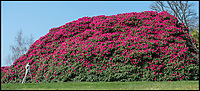 BNPS.co.uk (01202 558833)<br /> Pic:  PhilYeomans/BNPS<br /> <br /> Gardener Paul Collins has a mountain to climb.<br /> <br /> Shrubzilla - Britain's biggest rhododendron bush has burst into flower early after ideal conditions have produced a stunning display.<br /> <br /> The majestic shrub, that measures 120ft long and 50ft high, is within the gardens of the exclusive South Lodge Hotel in Horsham, West Sussex.<br /> <br /> And head gardener Paul Collins is going to need a bigger set of shears to prune the mountainous shrub that is actually native to the Himalayas.<br /> <br /> The plant is currently covered in hundreds of vibrant purple flowers having benefited from a mild winter that was boosted by a wet February.<br /> <br /> The rhododendron - Rhododendron arboreum Smithii in Latin - was planted more than 120 years ago by Victorian explorer Frederick Du Cane Godman.