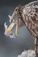 White-tailed eagle or Sea eagle or Erne, Haliaeetus albicilla, Flatanger, Nord-Tröndelag, Norway