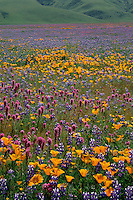 California poppies,  purple owl's clover and<br />