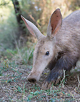 This aardvark was busy digging up ants to eat while I was photographing her.  Her giant claws allowed her to burrow deep into the ground very quickly.