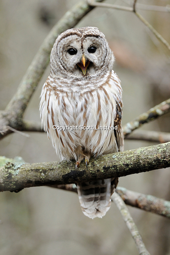 a barred owl perched in a wooded area