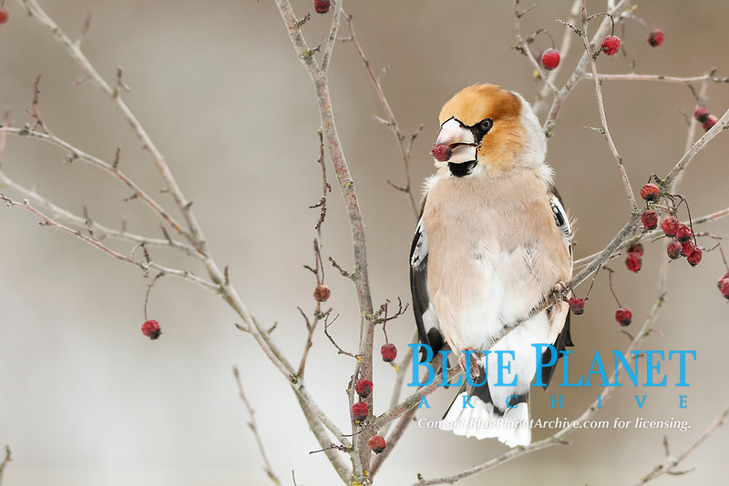 Hawfinch (Coccothraustes coccothraustes) with fruit of the vibrunum bush (Viburnum species) in its beak, Germany, Bavaria, Allgaeu, Allgäu, Swabia, Bavaria, Germany, Europe
