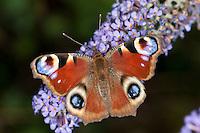Tagpfauenauge, Blütenbesuch, Nektarsuche auf Sommerflieder, Schmetterlingsflieder, Buddleja, Aglais io, Inachis io, Nymphalis io, peacock moth