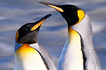 King penguin pair with rushing water, South Georgia Island