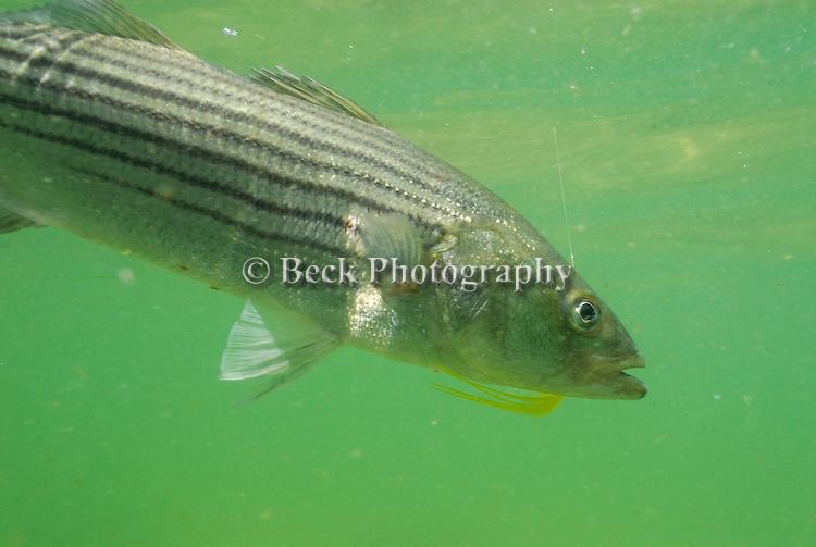 underwater striper