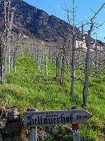 Apfel-Anbau bei Algund-Lagundo, Provinz Bozen &ndash; S&uuml;dtirol, Italien<br /> apple cultivation near Algund-Lagundo, province Bozen-South Tyrol, Italy