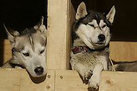 Frog (L) and Coho, part of Blake & Jennifer Frekkings team  rests in the houses at the restart of the 2008 Iditarod in Willow