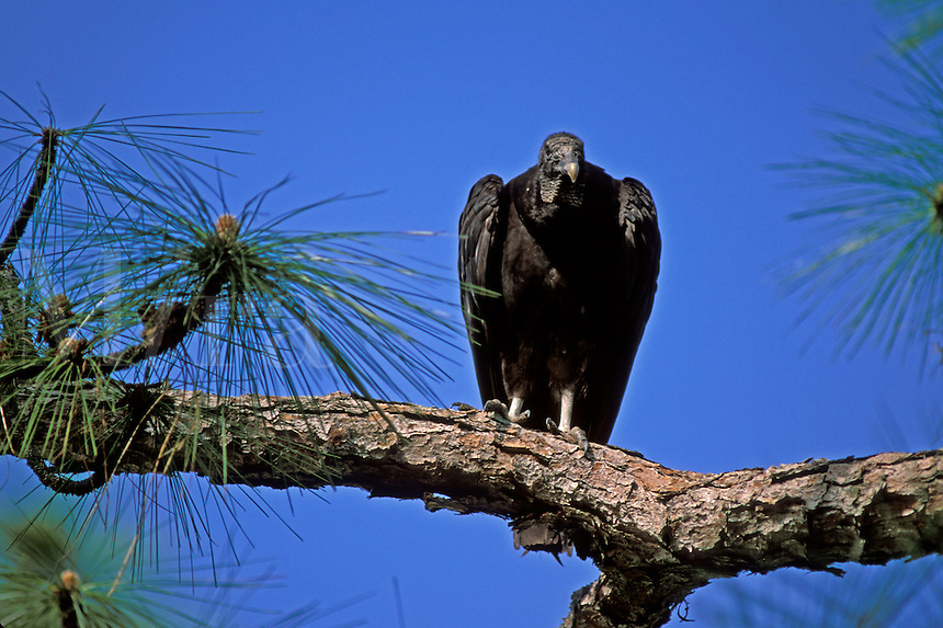Black Vulture (Coragyps atratus) perched on tree limb in south Florida