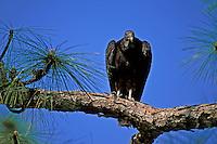 Black Vulture (Coragyps atratus) perched on tree limb in south Florida