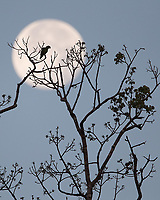 A parrot perches in front of the moon in Corcovado National Park.