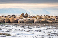 Atlantic walruses, Odobenus rosmarus rosmarus, colony on the beach of Moffen Island, Moffen Nature Reserve, Spitsbergen Archipelago, Svalbard and Jan Mayen, Norway, Europe