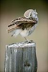 Burrowing Owl, Washington
