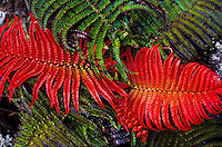 close up of red amau ferns