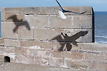 Seagull with spread out wings and shadows of seagulls against brick wall.