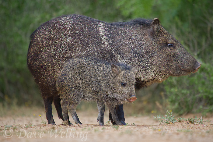 650520308 wild javelinas or collared peccaries dicolytes tajacu forage near a waterhole on santa clara ranch in starr county rio grande valley texas united states