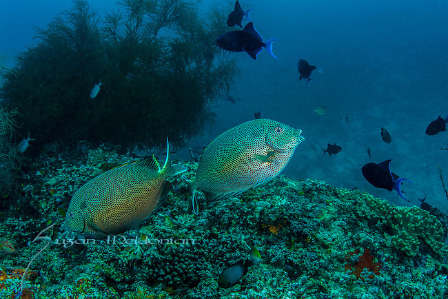Stellate rabbitfish, Siganus stellatus, ID by Rob Myers