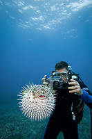 Diver (MR) photographing longspine porcupinefish, Diodon holocanthus, Maui, Hawaii, USA, Pacific Ocean