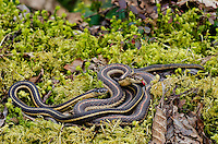 Northwestern Garter snakes (Thamnophis ordinoides) in Olympic National Park temperate rain forest, WA. April