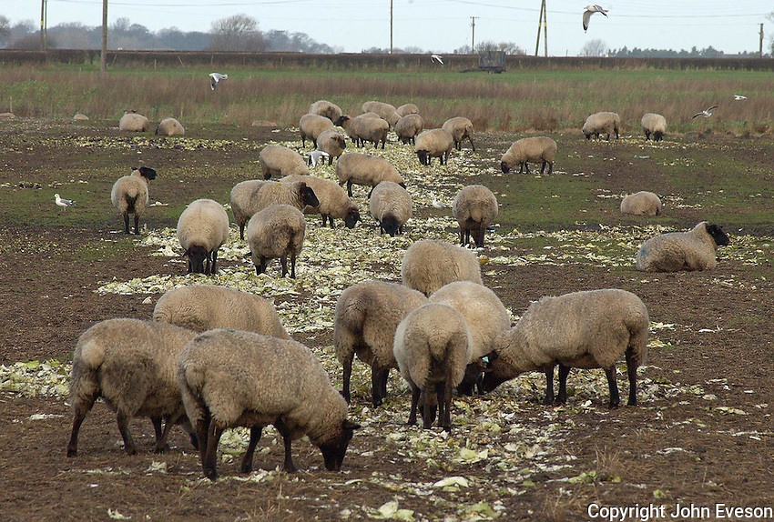 Vegetable waste is fed to sheep on stubble fields throughout the winter.