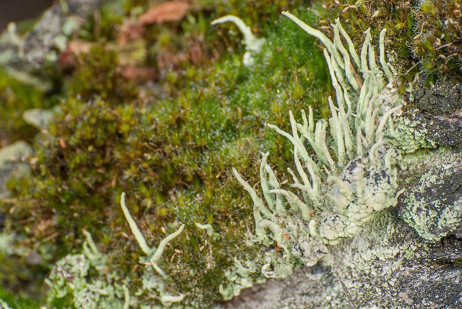 Korstmos (Claudonia coniocraea)