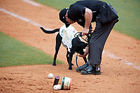 Greensboro Grasshoppers bat dog Miss Lou Lou Gehrig gets a treat from home plate umpire John Budka after bringing out some baseballs during a game against the Lakewood BlueClaws on June 10, 2018 at First National Bank Field in Greensboro, North Carolina.  Lakewood defeated Greensboro 2-0.  (Mike Janes/Four Seam Images)