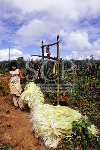 Bahia, Brazil. Woman Sisal (agave sisalana) worker weighing bales of sisal fibre in a sisal plantation.