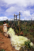 Bahia, Brazil. Woman Sisal (agave sisalana) worker weighing bales of sisal fibre in a sisal plantation.