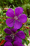 TIBOUCHINA 'GROOVY BABY', PRINCESS FLOWER